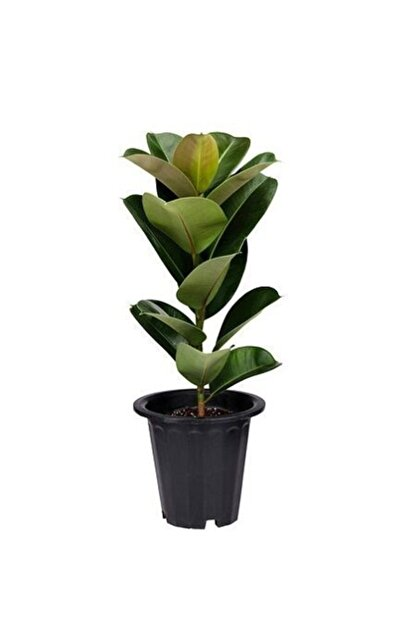 fidanistanbul Ficus Elastica Kauçuk Çiçeği