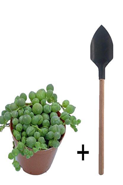 Sukulent Bahçem Senecio - Tesbih Çiçeği + Hobi Küreği