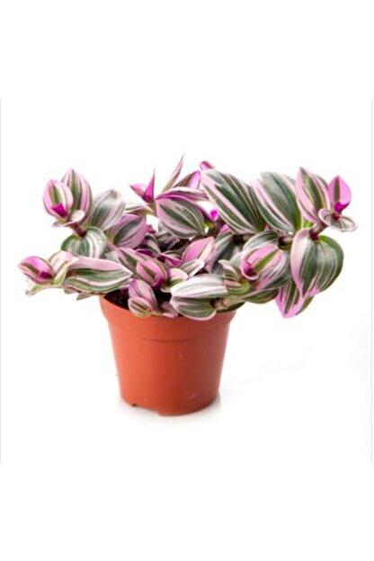 SELİNARYUM Tradescantia Nanouk 15 cm Pembe Telgraf Çiçeği Canlı Bitki