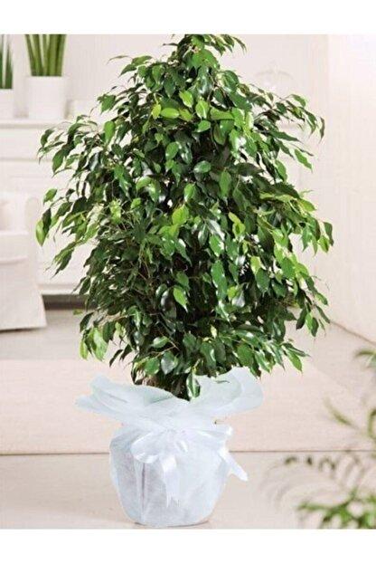 Çiçek Butiq Benjamin Çiçeği Danielle 100 cm