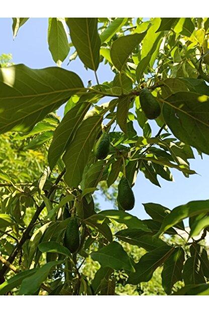 tropicaltat Avokado (2 Kg)