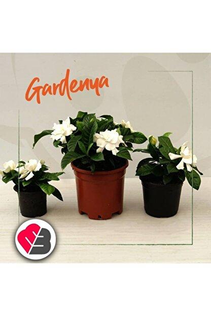 mutbirlik Saksıda Yoğun (kokulu) Gardenya Çiçeği