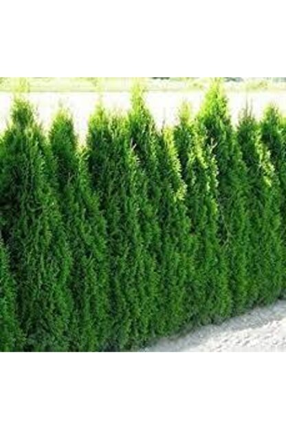 Çam Tohumculuk 100 Adet Tohum Çit Mazı Tohum Çit Mazısı Tohumu Tohum Yeşil Çit Mzı Tohumu Sürpriz Hediye Tohumludur