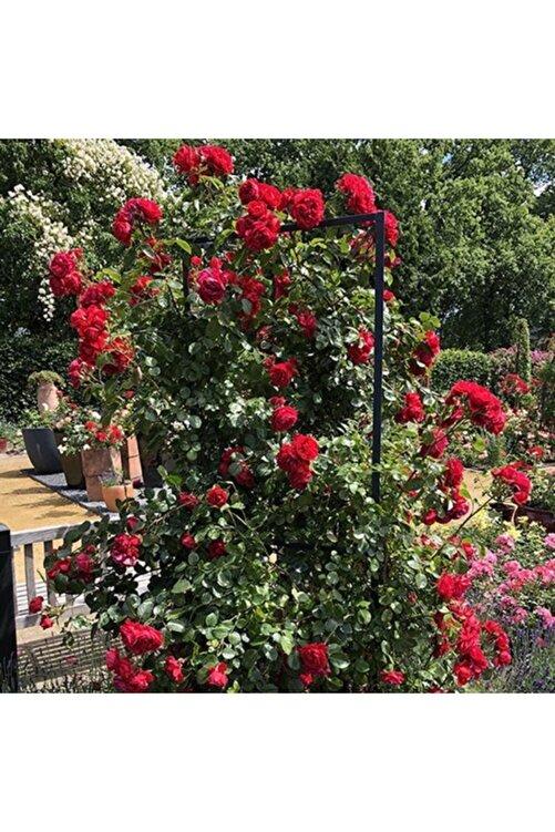 Evimdeki Bahçem Kokulu Yediveren Kırmızı Sarmaşık Gül Fidanı 1