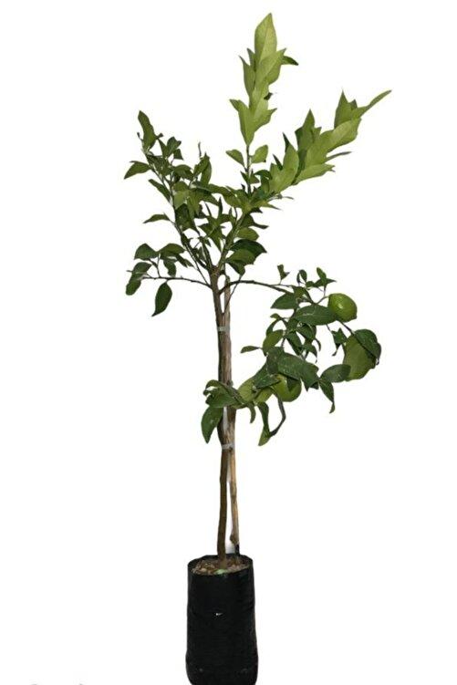 EVİM BAHÇEM Limon Fidanı Aşılı Limon Ağacı Fidanı( Çiçekli ) Limon Fidanı 100-120 Cm 2 Ila 3 Yaş 1