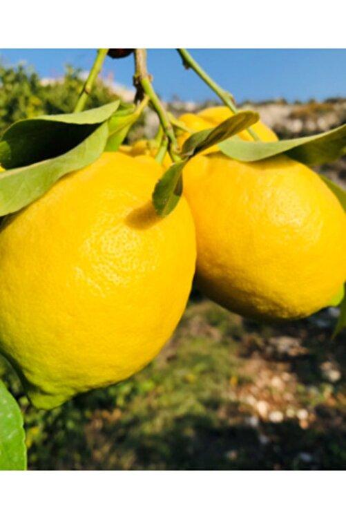 EVİM BAHÇEM Limon Fidanı Aşılı Limon Ağacı Fidanı( Çiçekli ) Limon Fidanı 100-120 Cm 2 Ila 3 Yaş 2
