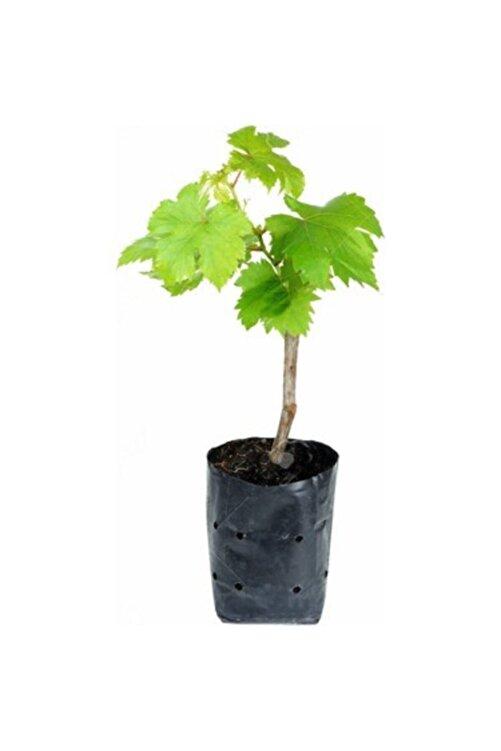 ADA TARIM Tüplü Yapraklık Sarmalık Dolmalık Üzüm Asma-bağ Fidanı 2