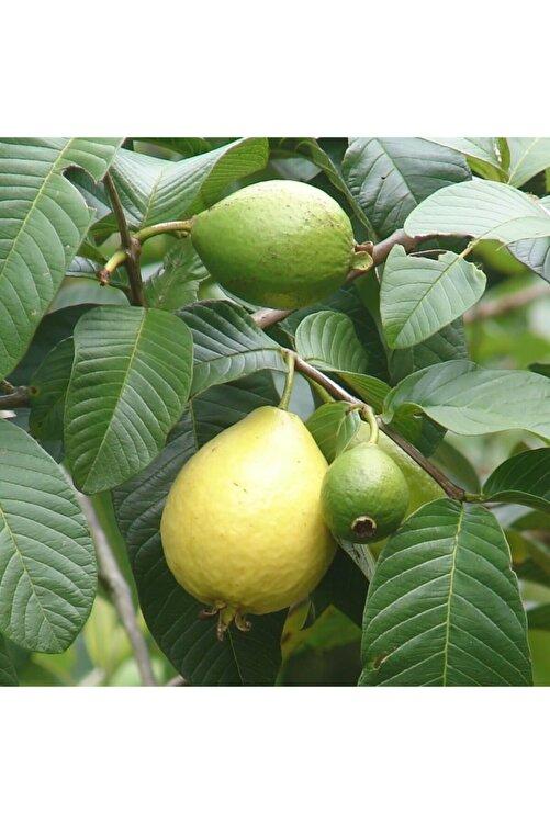 fidanistanbul Psidium Guajava Guava Fidanı, 80-100 Cm, Tüplü 1