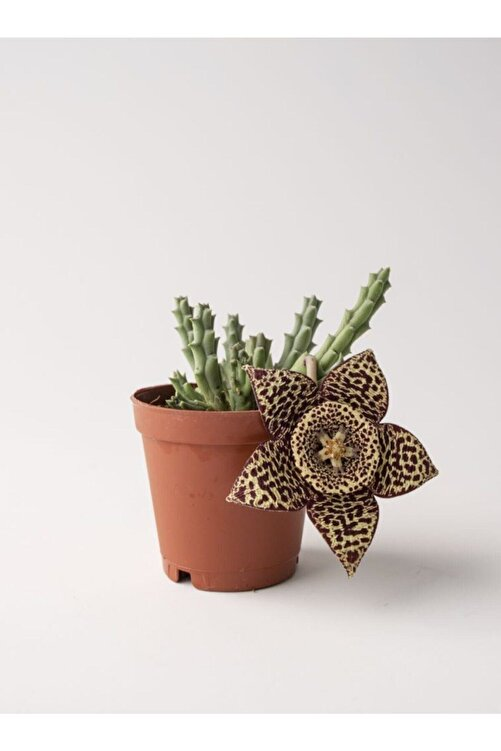 ebotanik Leş Kaktüs Stapelia Variegata 5.5 cm Saksıda 1