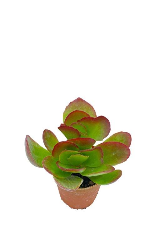 Sukulent Bahçem Kalanchoe Tetraphylla 1