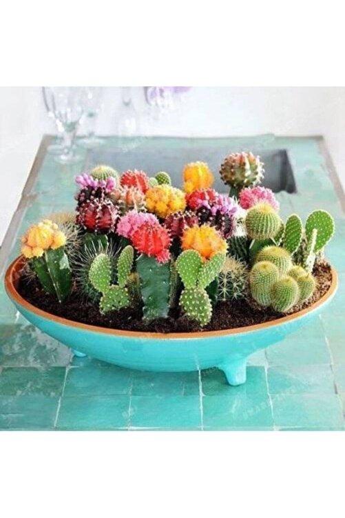 Kaktüs & Sukulent 20 Adet Karışık Renkli Kaktüs Çiçeği Tohumu 1