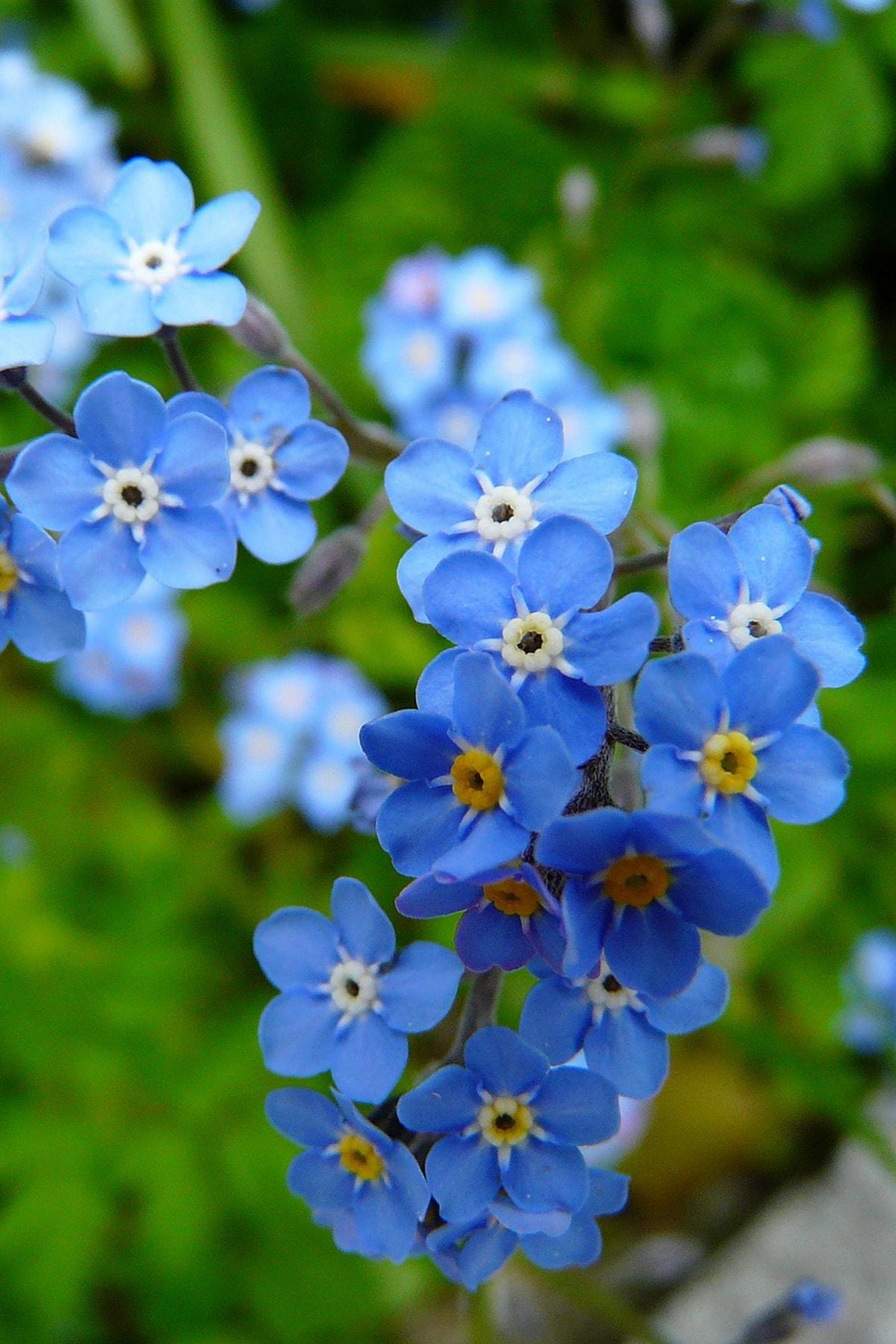 Unutma Beni Çiçeği 50 Adet Çiçek Tohumu