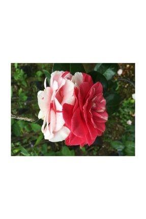 CC Kırmızı Beyaz Kırmızı Melez Kamelya Özel Ürün 2