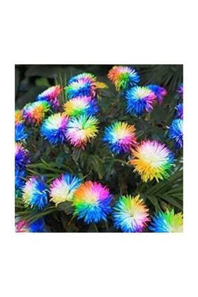 Çam Tohumculuk Renkli Himalaya Orkide Tohumu 5 Adet Tohum 1