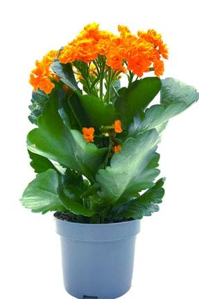 MF Botanik Kalanşo Çiçeği Kalanchoe Çiçeği Bitki Ev Ofis Bitkisi 20 - 25 Cm Turuncu 0