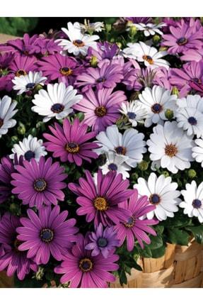 aktarix +10 Adet Bodrum Papatyası Çiçeği Tohumu 0