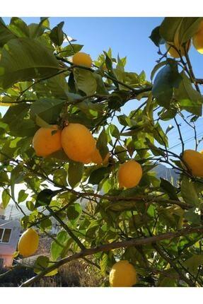 Alanya Özlem Avokado (1kg) ,limon (2kg) ,muz (2kg) Taptaze Ürünler 2
