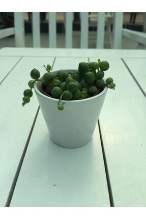 My Succulent Sukulent Tesbih Çiçeği - Senecio Rowleyanus 0