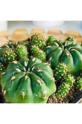 Özen Çiçekçilik Matucana Polzii Cactus Bol Yavrulu Turuncu Çiçek Açan Tür Kaktüs 2