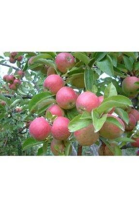 taşkar peyzaj Amasya Misket Elma Fidanı Aşılı 2 Yaş Tüplü - 100-120 c 0