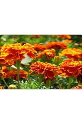 Arzuman Kadife Çiçeği Tohumu (50 ADET) 2