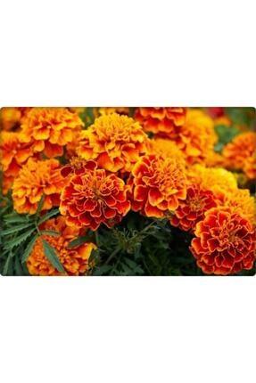 Arzuman Kadife Çiçeği Tohumu (50 ADET) 1
