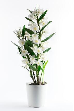 Bizim Bahçe Çiçekçilik Dendrobium Beyaz Renkli Orkide Çiçeği Canlı Çiçek 0001 0