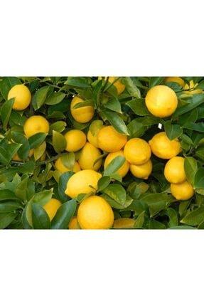 Evimdeki Bahçem Saksı Yetiştiriciliğine Uygun Yediveren Limon Fidanı 0