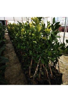 Evimdeki Bahçem Saksı Yetiştiriciliğine Uygun Yediveren Limon Fidanı 1