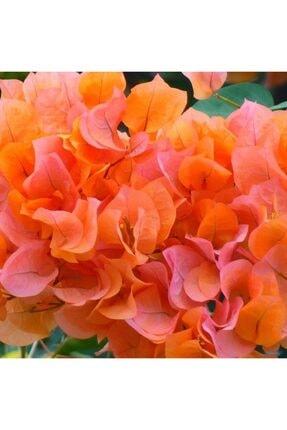 mutbirlik Tüplü Kavuniçi Begonvil Çiçeği Fidanı 0