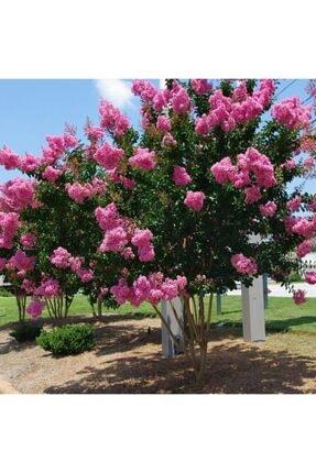 mutbirlik Tüplü Pembe Çiçekli Oya Ağacı Fidanı Lagertroemia Indica 0