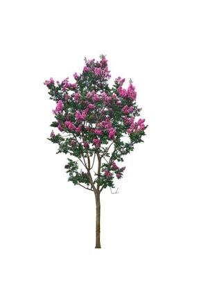 mutbirlik Tüplü Pembe Çiçekli Oya Ağacı Fidanı Lagertroemia Indica 1