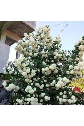 mutbirlik Tüplü Beyaz Çiçekli (kokuklu ) Kartopu Viburnum Fidanı 0