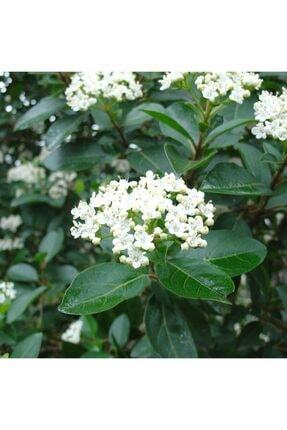 mutbirlik Tüplü Beyaz Çiçekli (kokuklu ) Kartopu Viburnum Fidanı 1
