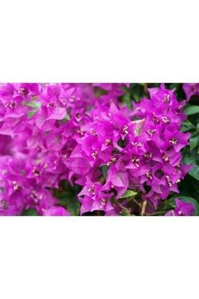 ruzgarbotanik Pembe Begonvil Çiçeği Fidanı 50 Cm Saksılı 0