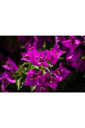 ruzgarbotanik Pembe Begonvil Çiçeği Fidanı 50 Cm Saksılı 2