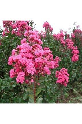 mutbirlik Tüplü Pembe Çiçekli Oya Ağacı Fidanı Lagertroemia Indica 2