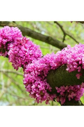 mutbirlik Tüplü Erguvan Ağacı Fidanı 1