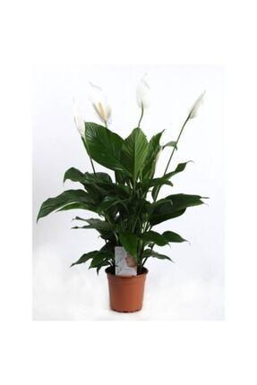 SalonBitkileri Barış Çiçeği Spathiphyllum Sokak Lambası Çiçeği Ev Bitkisi Ofis Bitkisi Salon Bitkisi 0
