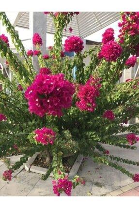 ruzgarbotanik Bodur Begonvil Gelin Duvağı Çiçeği Fıdanı 60 Cm 0