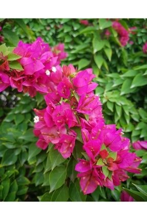 ruzgarbotanik Bodur Begonvil Gelin Duvağı Çiçeği Fıdanı 60 Cm 1