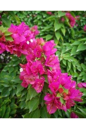 ruzgarbotanik Bodur Begonvil Gelin Duvağı Çiçeği Fıdanı 60 Cm 2