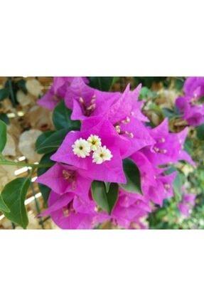 ruzgarbotanik Pembe Begonvil Çiçeği Fidanı 50 Cm Saksılı 1