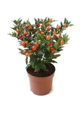 Çam Tohumculuk Cherry Saksılık Domates Tohumu 10 Adet Tohum 0