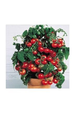 Çam Tohumculuk Cherry Saksılık Domates Tohumu 10 Adet Tohum 3