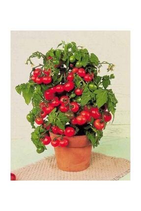 Çam Tohumculuk Cherry Saksılık Domates Tohumu 10 Adet Tohum 2
