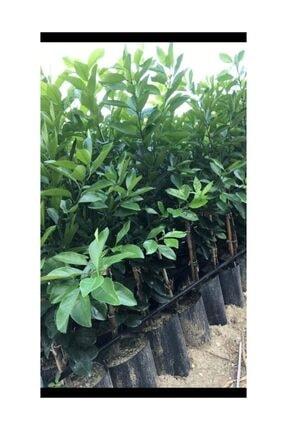 Fidan Sahası Tüplü Aşılı Yarı Bodur Navelina Portakal Yaş 1-2 Boy 50-60 Cm 0