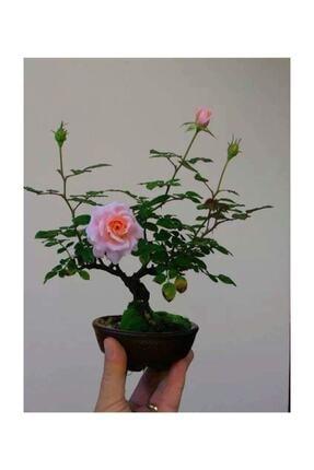 Bodur Pembe Gül Bonzai Ağacı Tohumu 5 Adet Tohum 292033