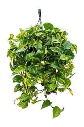 Berceste Peyzaj tasarım Pothos Sarmaşığı Askılı Saksıda Epipremnum Aureum Bitkisi Potos Ev Bitkisi Ofis Bitki Salon Bitkisi 0