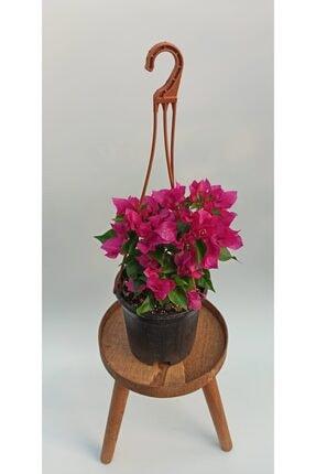 SERVET GARDEN Bodur Begonvil Çiçeği- 15-30cm 1